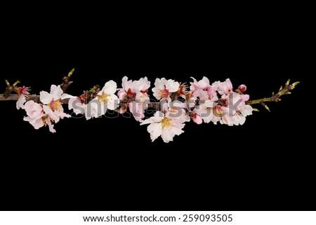 almond tree twig isolated on black - stock photo