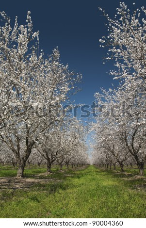 Almond trees in Spring bloom, San Joaquin Valley, California. - stock photo
