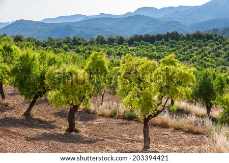 Almond trees with Ports de Besseit Mountains in the background - stock photo