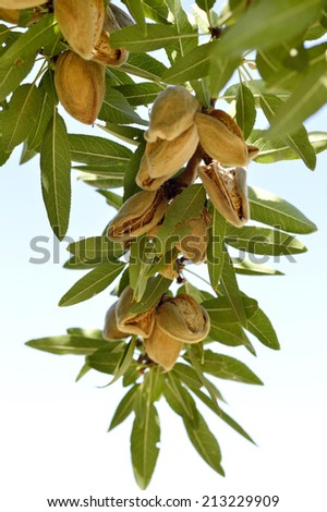 Almonds on branch ripe dry autumn harvest. - stock photo