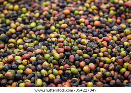 Almost dried coffee berry, drying at the sun with handmade process in LAO - stock photo