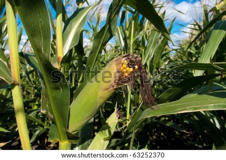almost ripe cob in a maize field - stock photo