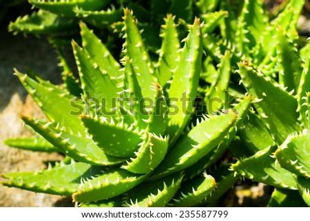 Aloe breviforia, Liliaceae, southern Africa   - stock photo