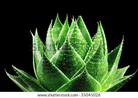 ALOE COSMO ISOLATED ON BLACK BACKGROUND