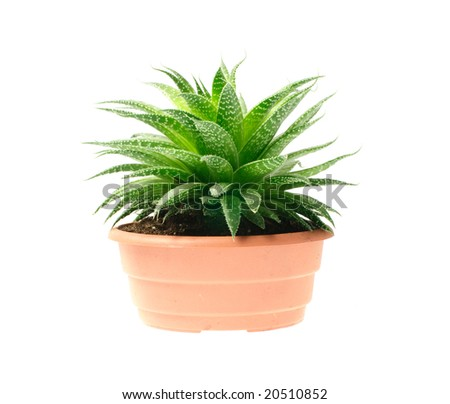aloe in pot isolated on white background - stock photo