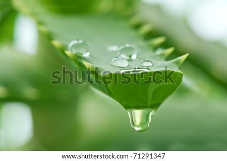 aloe juice drop close up - stock photo