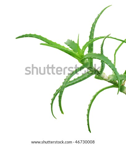 Aloe over white - stock photo