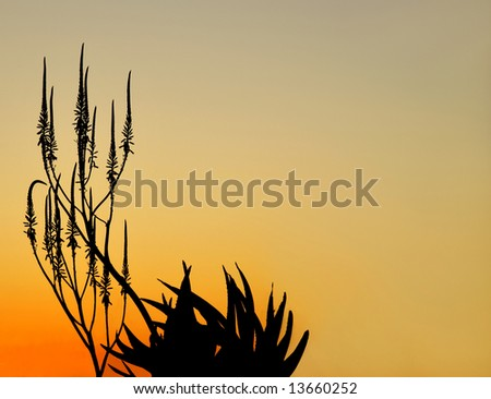Aloe plant and flowers silhouetted in a Namibia, Africa, pre-dawn glow