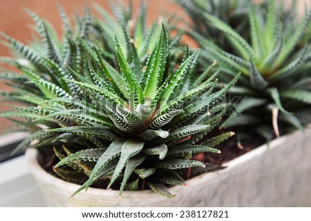 Aloe plant on the window - stock photo