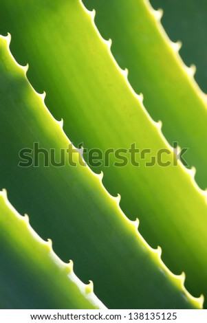 Aloe Vera Close-up - stock photo
