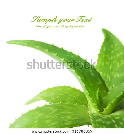 aloe vera fresh leaf. - stock photo