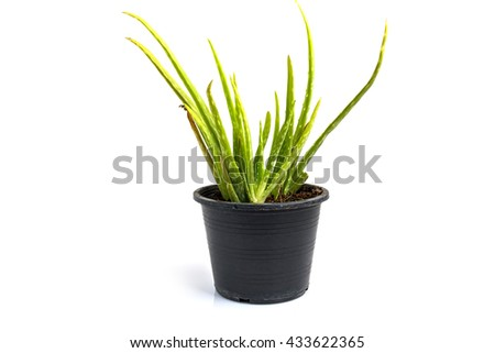 Aloe vera in a pot black  a white background.