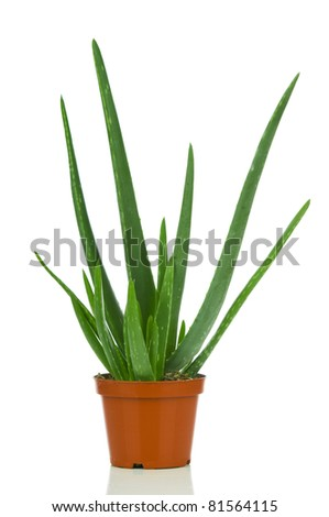 Aloe vera in pot. Isolated on white background - stock photo