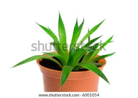 Aloe vera isolated on white - stock photo