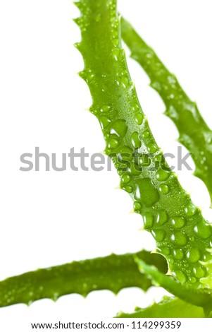 aloe vera leaf covered dew, isolated on white - stock photo
