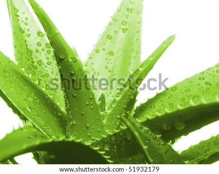 Aloe vera leaves - stock photo