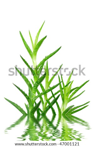 Aloe vera leaves in water isolated on white background