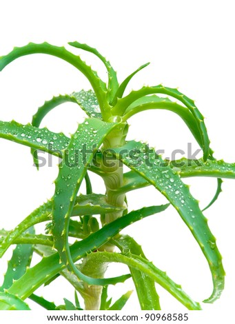 Aloe vera leaves with drops of dew on a white background closeup - stock photo