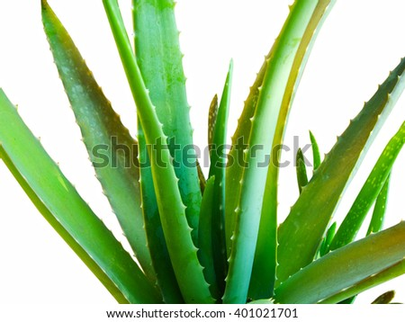 Aloe vera plant isolated in white background. Close up - stock photo