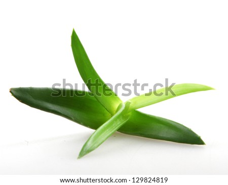 Aloe vera plant isolated on white