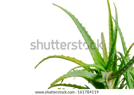Aloe Vera plant, isolated on white - stock photo