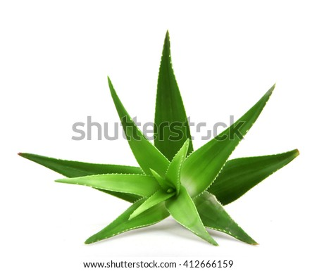 Aloe vera plant isolated on white. - stock photo