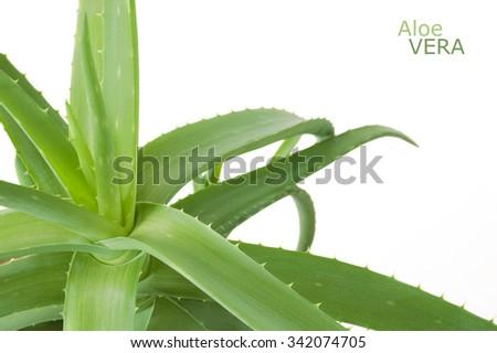 Aloe Vera plant isolated on white background - stock photo