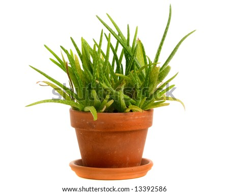 Aloe vera plant. Isolated with clipping path.