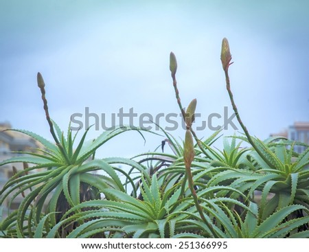Aloe vera plants with buds within a garden, Mallorca, Balearic islands, Spain. - stock photo