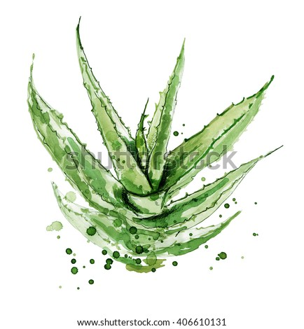 Aloe vera. Watercolor succulent aloe. Original hand drawn watercolor