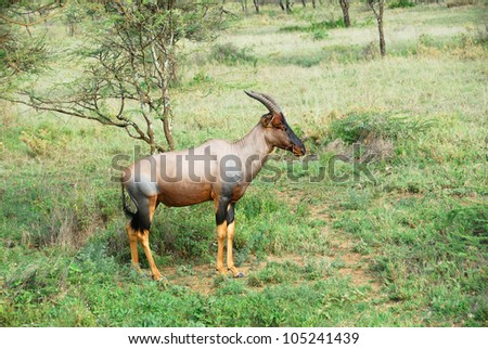 Alone antelope Topi in the Serengeti national park, Tanzania - stock photo