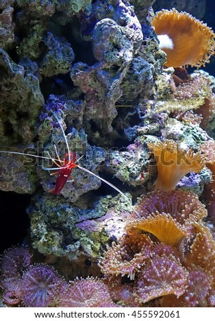 Alone blood red fire cleaner shrimp (Lysmata debelius) with white dots  on the rock in the Lisbon Oceanarium, Portugal. Wild nature background. The underwater world. Coral reef, algae, aquatic plants. - stock photo