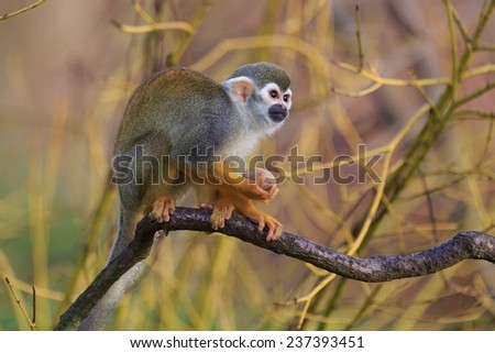 alone Common squirrel monkey  - stock photo
