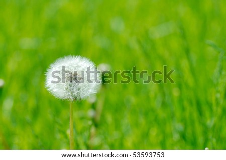 Alone dandelion over green. Defocused background.Extremely shallow DOF.
