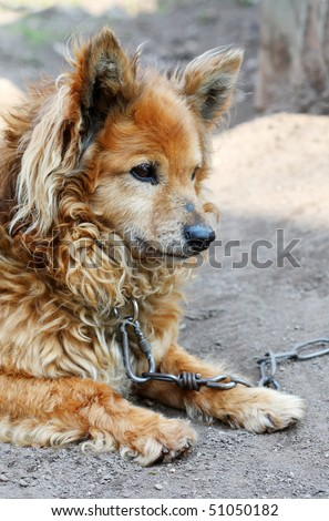 Alone dog on a chain