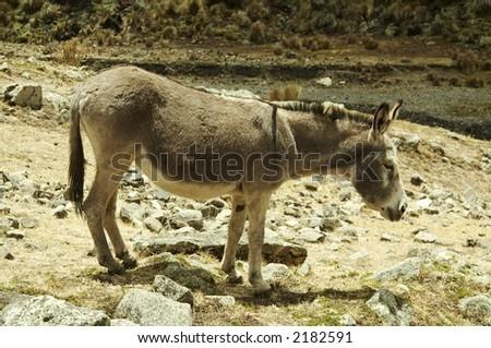 Alone donkey in Cordilleras mountain - stock photo