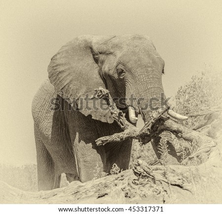 Alone elephant from the vast herds grazing in african savannah in the National Park Chobe - Botswana, South-West Africa (stylized retro) - stock photo