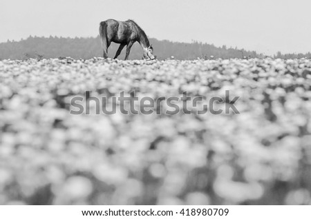 Alone horse on meadow. Black and white photo - stock photo