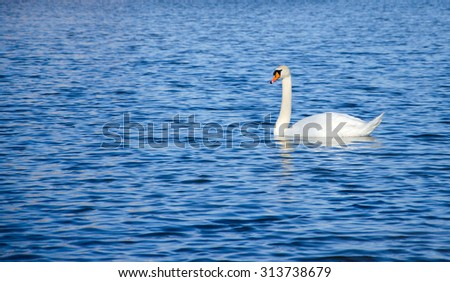 alone - lonely swan swimming on the lake - stock photo