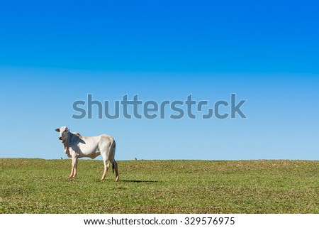 Alone ox at green pasture, with blue sky - stock photo