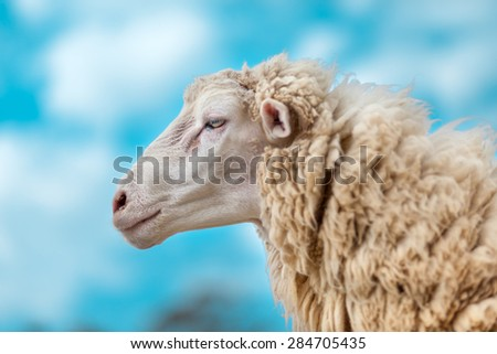 alone sheep in a farm - stock photo