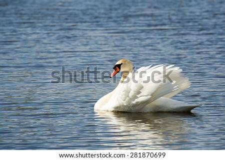 Alone swan, Cygnus, single bird on water, Czech Republic - stock photo