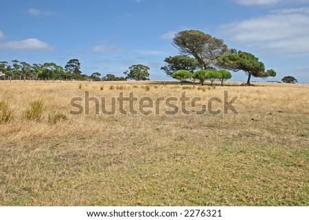 Alone tree against the blue sky and yellow field (Churchill island, Victoria, Australia) - stock photo