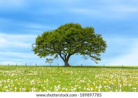 Alone tree on meadow with Blue Cloudy Sky in summer in the Eifel  - stock photo