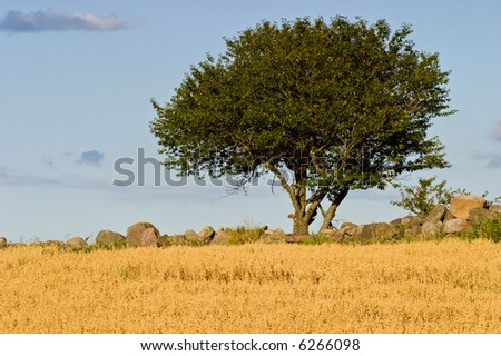 Alone tree on the field