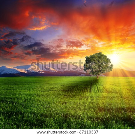 Alone tree on the green meadow at sunset. - stock photo