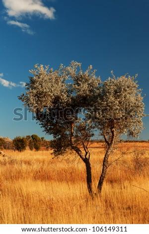 Alone tree on the Madagascar's field - stock photo