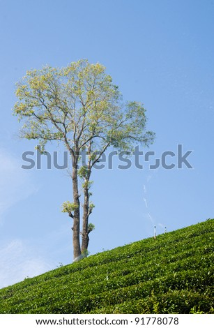ALONE TREE ON TOP OF TEA GARDEN - stock photo