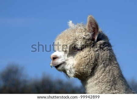 alpaca - stock photo