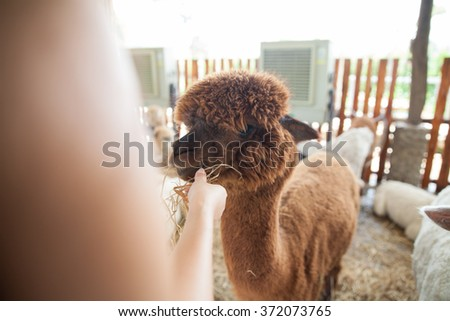 Alpaca being fed by hand - stock photo